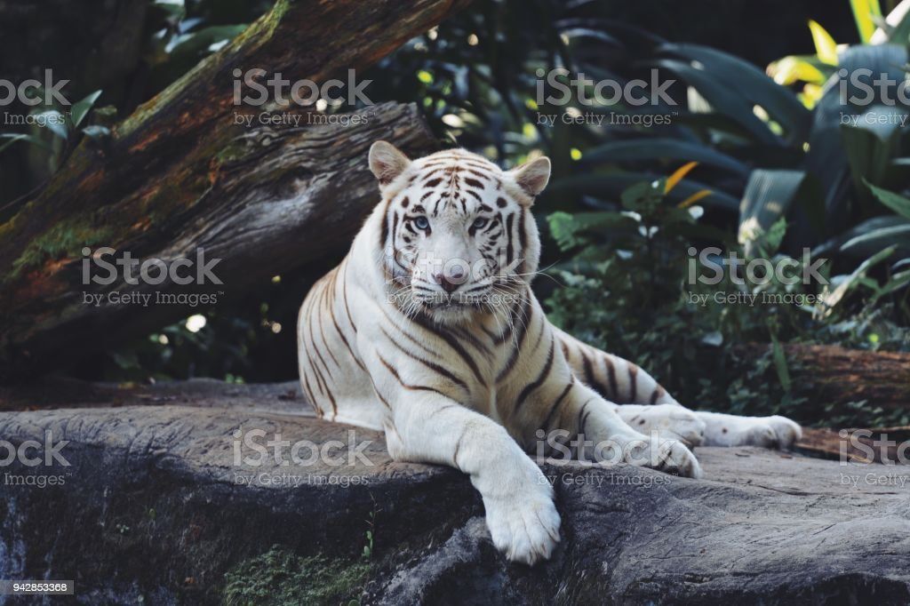 White Bengal Tiger in the wild stock photo