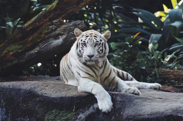 white bengal tiger in the wild - bengal tiger stock pictures, royalty-free photos & images