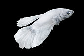 White Betta Fish, Isolated Over Black Color Background. Suitable For Design Stock Object, Rare Siamese Fighting Fish, Betta Splendens, Betta Mandor, Giant Betta, Cut Out