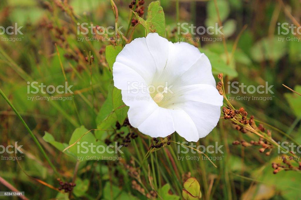 white bindweed stock photo