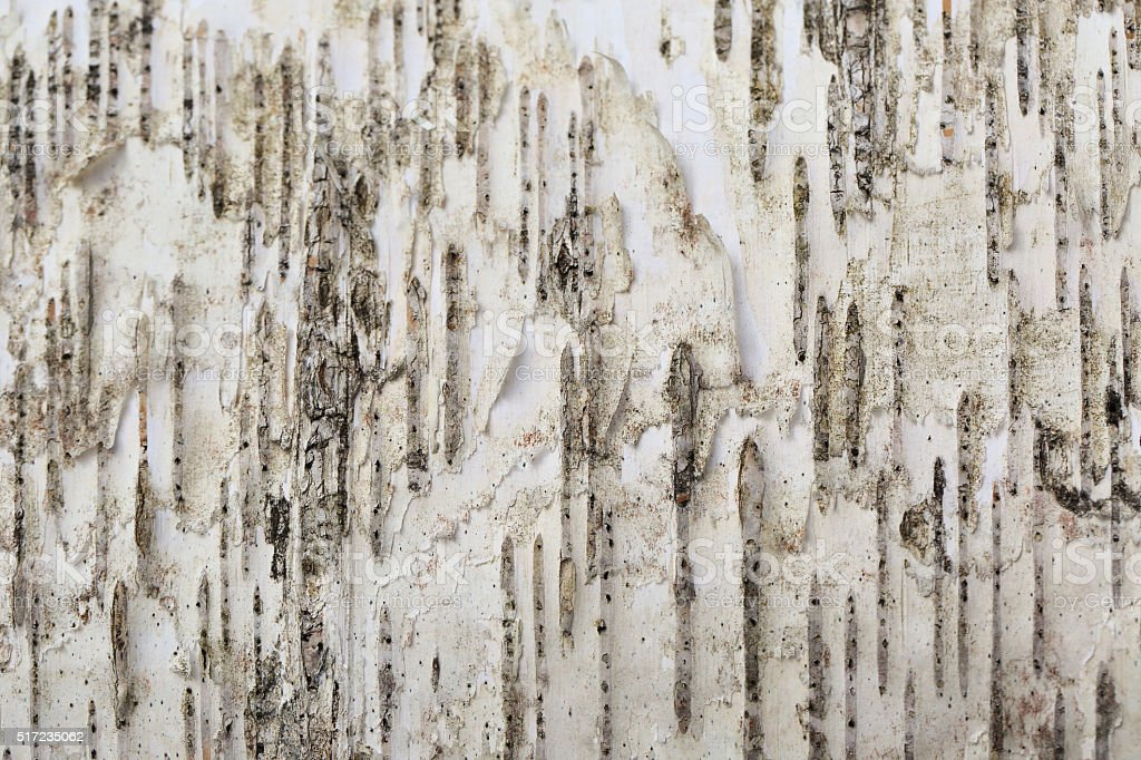 White birch background stock photo