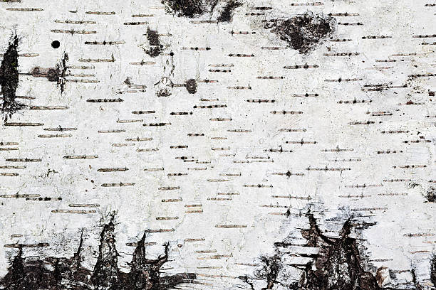 White birch bark background texture stock photo