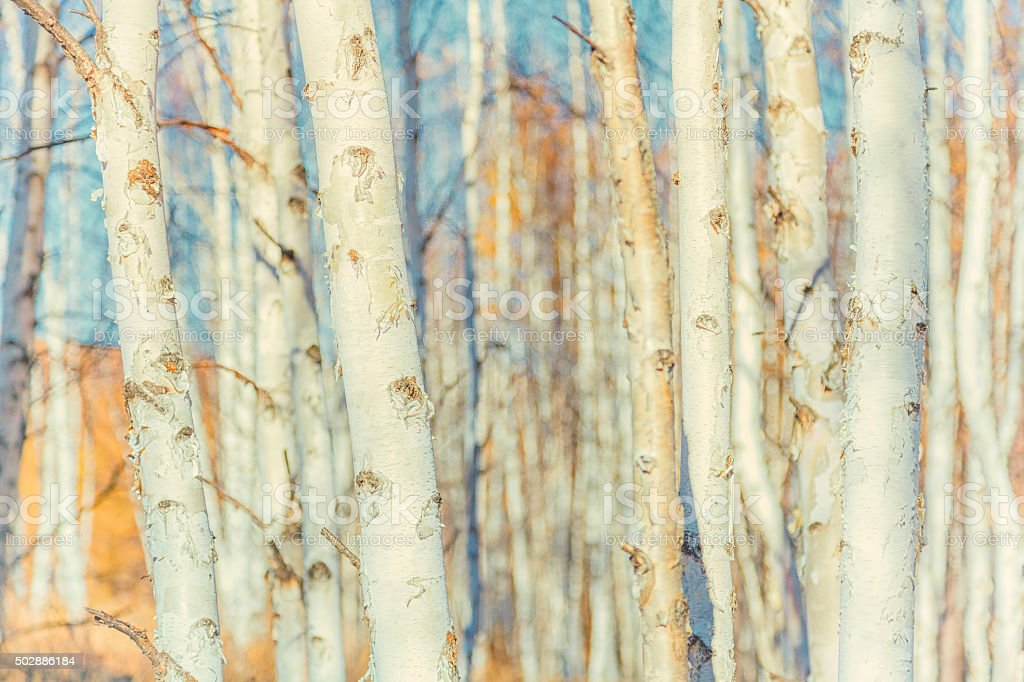 White birch forest background stock photo