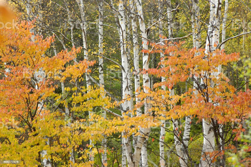 White birch forest foto stock royalty-free