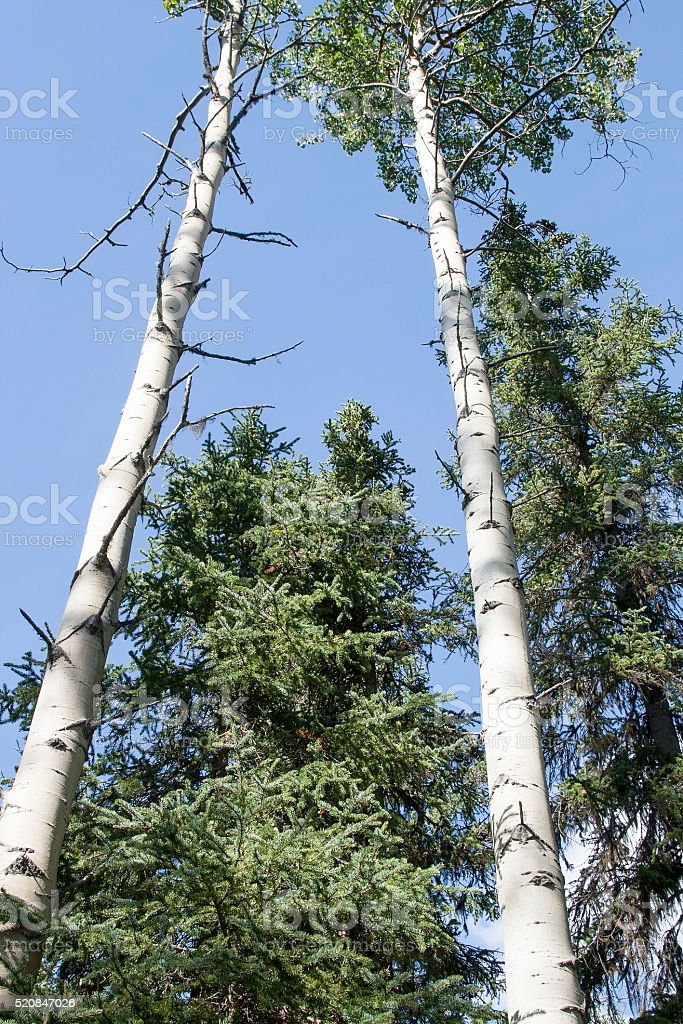 White Birch stock photo