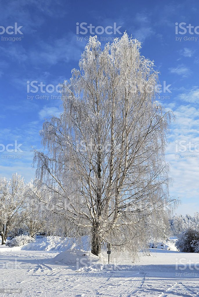 White birch royalty-free stock photo