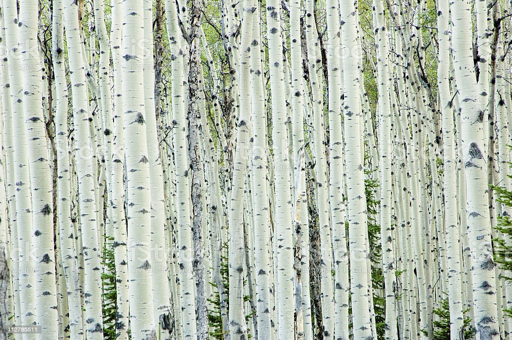 White birch tree forest​​​ foto