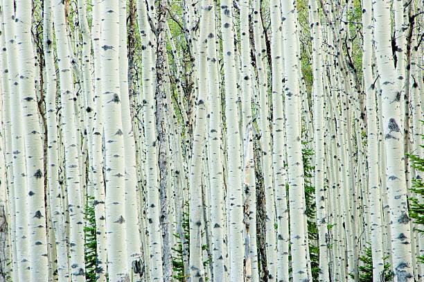 White birch tree forest stock photo