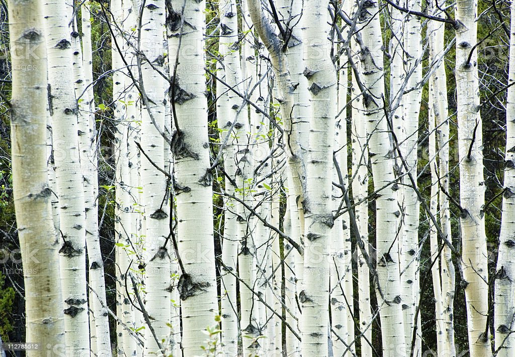 White birch tree forest royalty-free stock photo