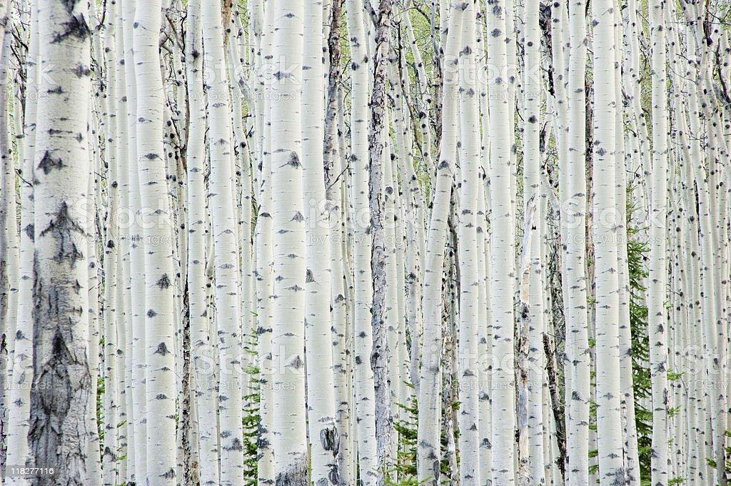 Bosque de abedul blanco - foto de stock