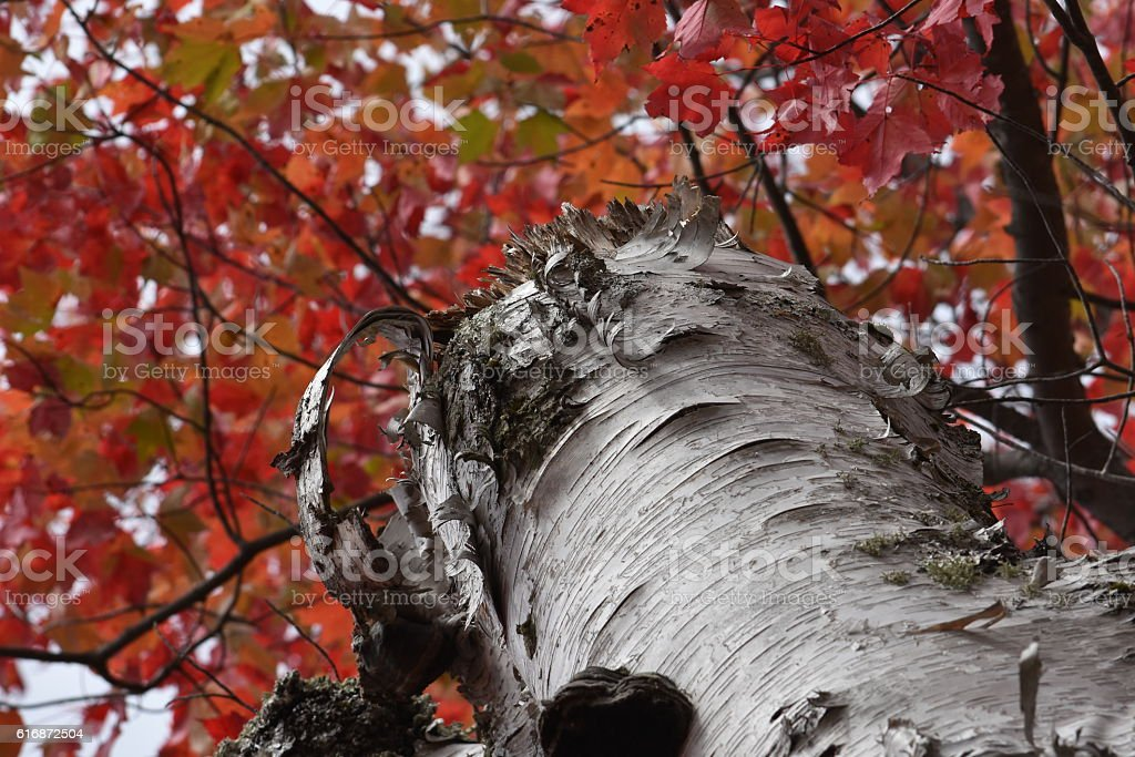 White Birch tree stock photo