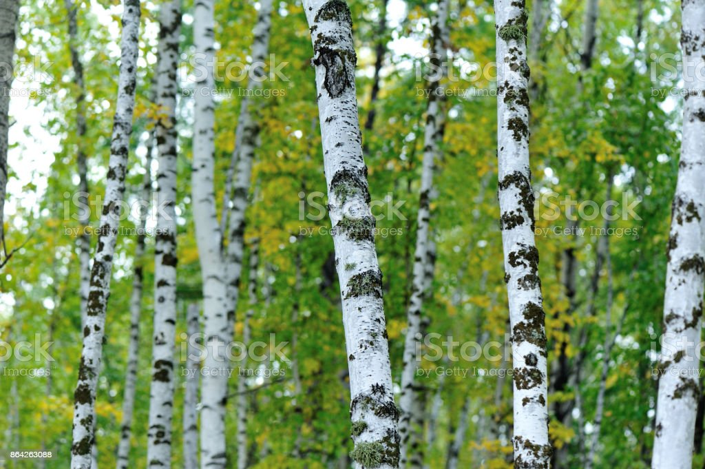 white birch trees in the autumn forest royalty-free stock photo