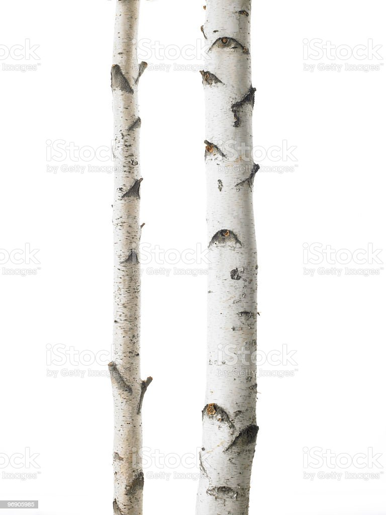 White birches double royalty-free stock photo