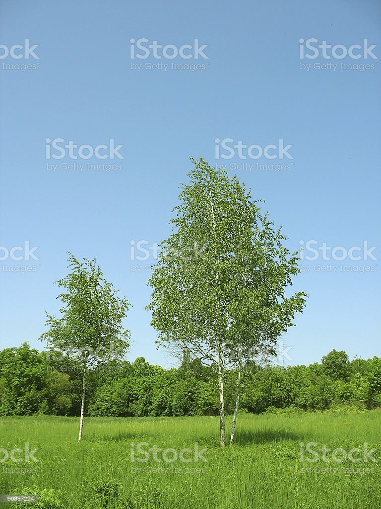 White birches. Green grass. Summer. royalty-free stock photo