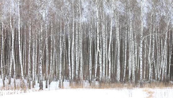 white birches in birch grove
