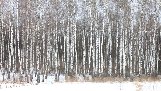 white birches in birch grove