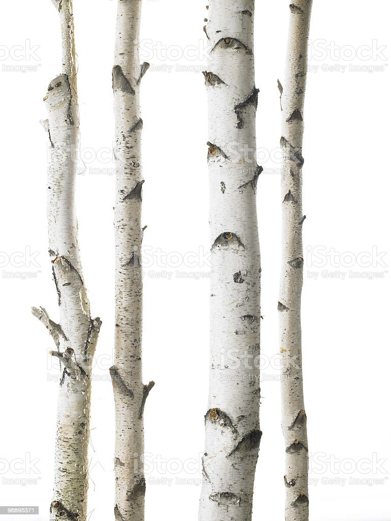 White birches stock photo