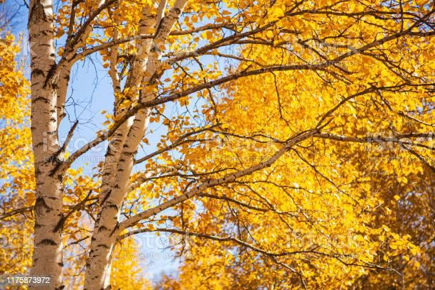 Photo of White birches trees in autumn