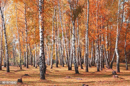 White birches trees in autumn in birch grove