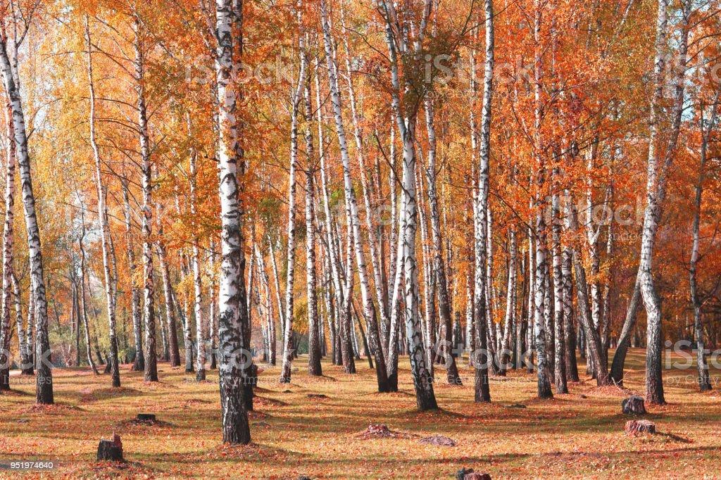 Árboles blancos abedules en otoño - foto de stock