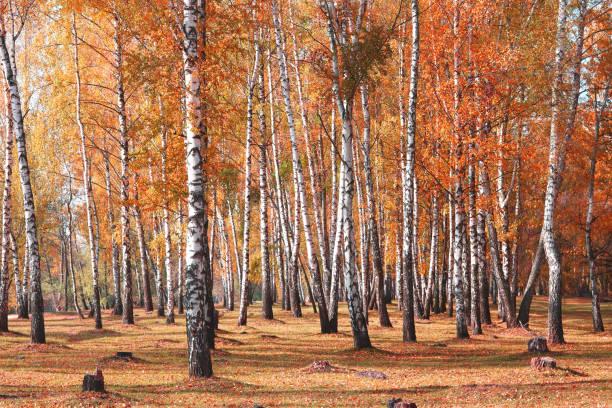 Weiße Birken Bäume im Herbst – Foto
