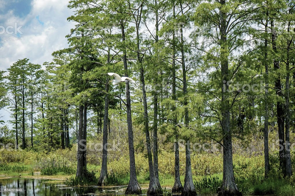 white bird flying in swamp stock photo