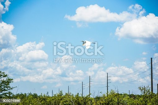white bird flying in the swamp of Florida