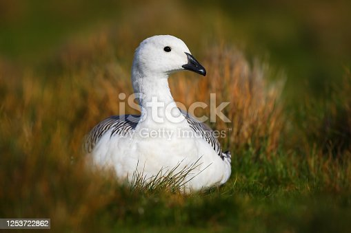 White bird in the green grass. Goose in the grass. Wild white Upland goose, Chloephaga picta, in the nature habitat, Argentina. White bird with long neck. White goose in the grass.