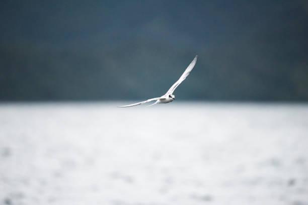 Oiseau blanc: Océanite de - Photo
