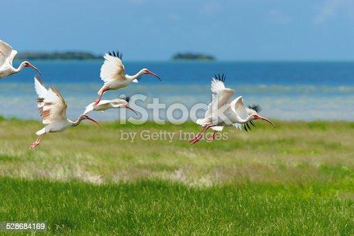 White birds fly over a green grass.