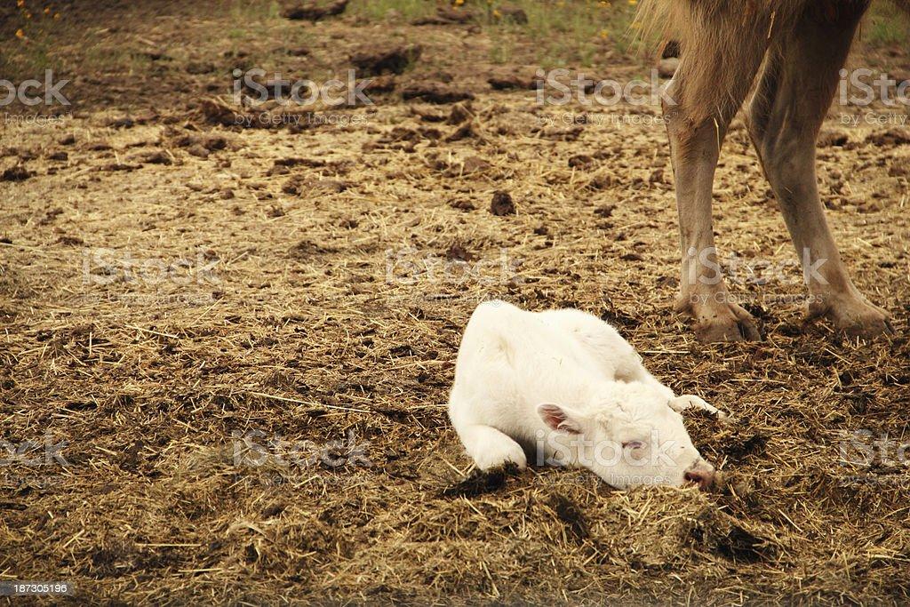 White Bison Calf Newborn Sacred royalty-free stock photo