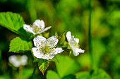 white blackberry flowers on a green background