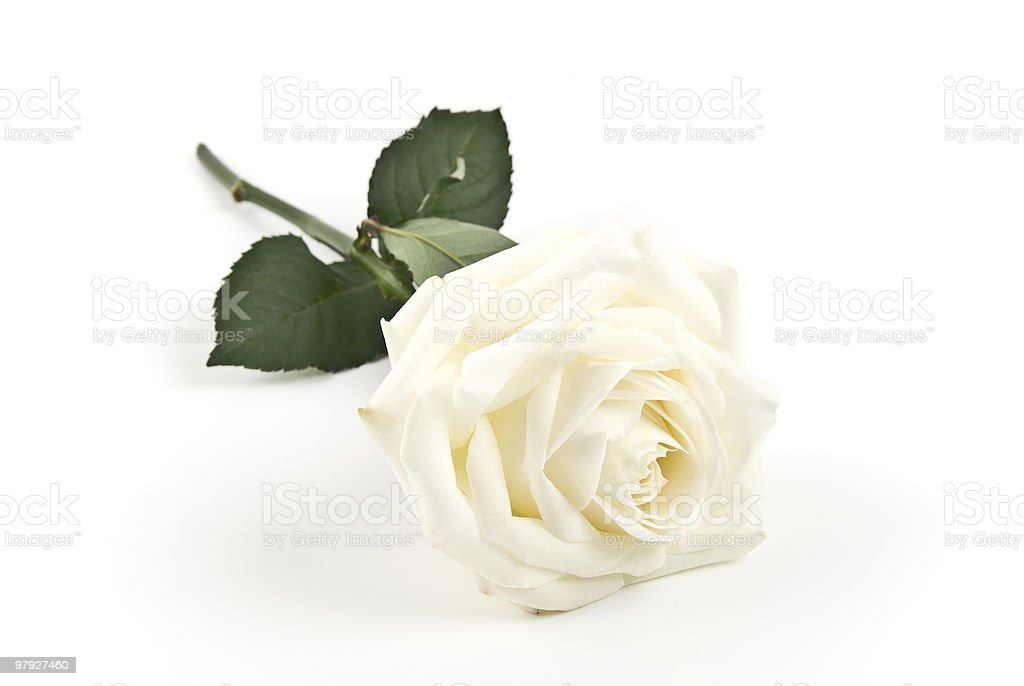 White bloomed rose with stem and leaves set on white surface royalty-free stock photo