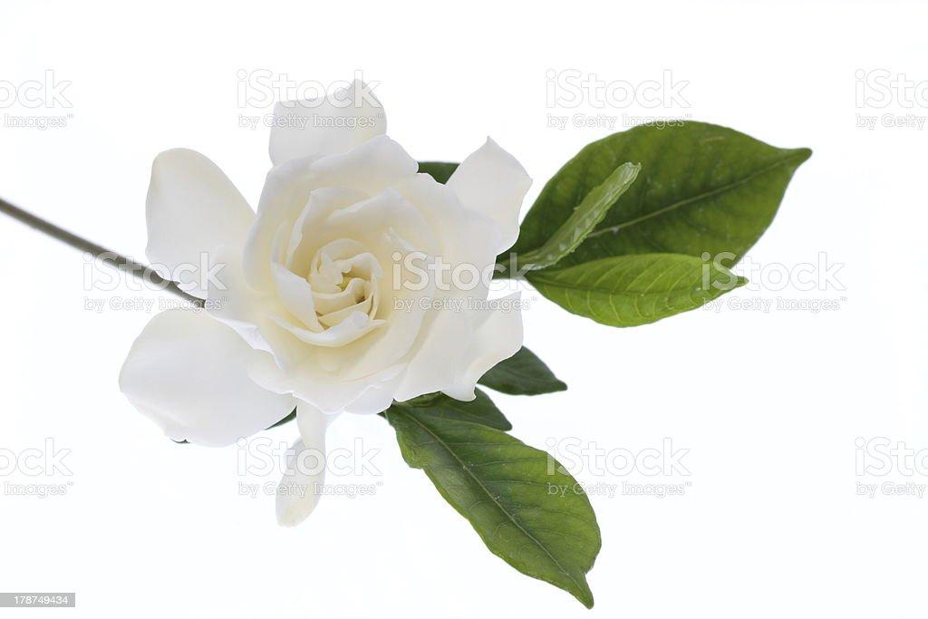 Weiß blühende in zwei gardenia – Foto
