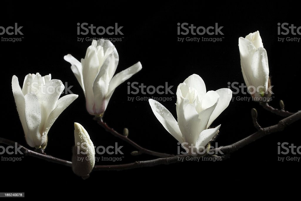 White blooming magnolia on black ground stock photo