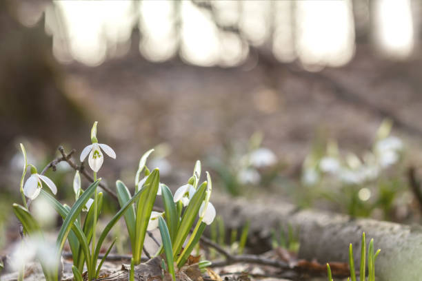 White blooming snowdrop folded or Galanthus plicatus. Spring sunny day in the forest. stock photo