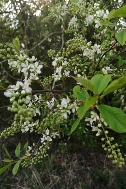 white blooming  wild-bush stock photo