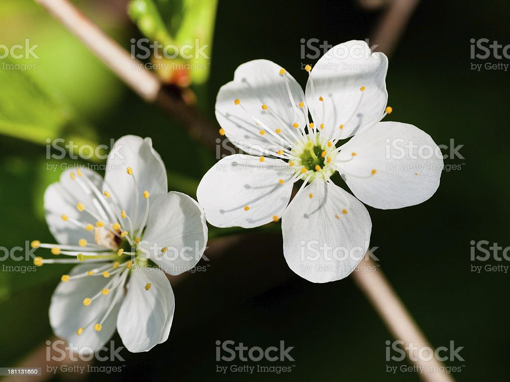white blooms of blossoming tree royalty-free stock photo