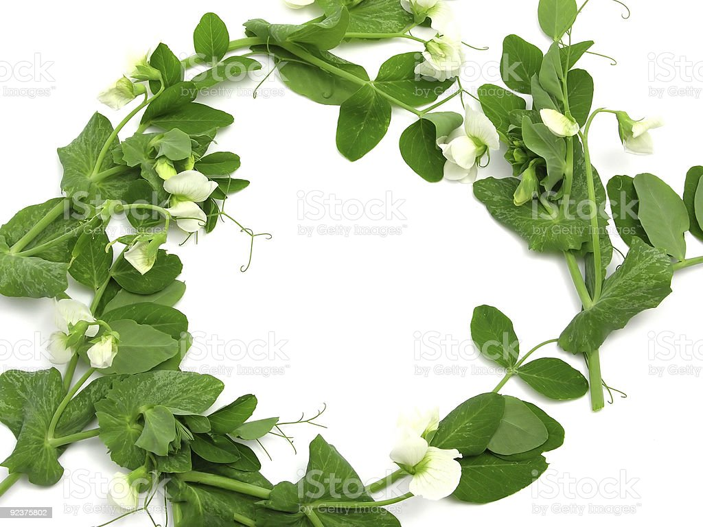 White blooms of snow pea as ring royalty-free stock photo