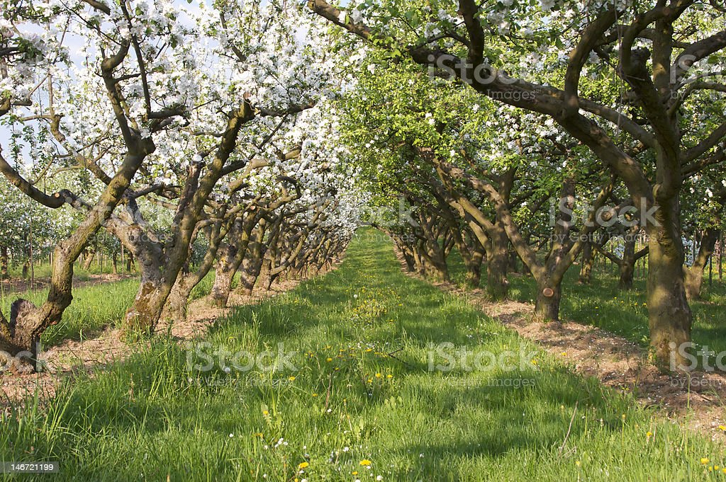 White blossom in apple orchard royalty-free stock photo