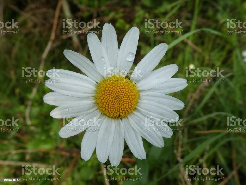 White Blossom Of A Daisy Flower Stock Photo More Pictures Of