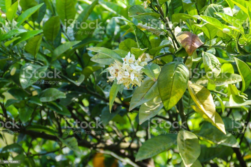 Witte bloesem van citrus tree close-up - Royalty-free Beschermd natuurgebied Stockfoto