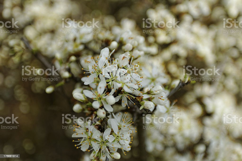 white blossom of the tree royalty-free stock photo