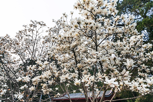 White Blossom On Magnolia Trees In Beijing Stock Photo Download
