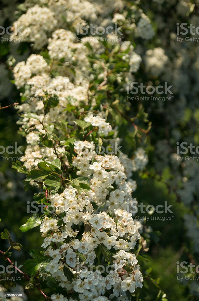 white blossom stock photo