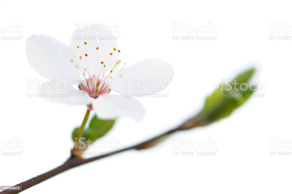 White Blossom royalty-free stock photo