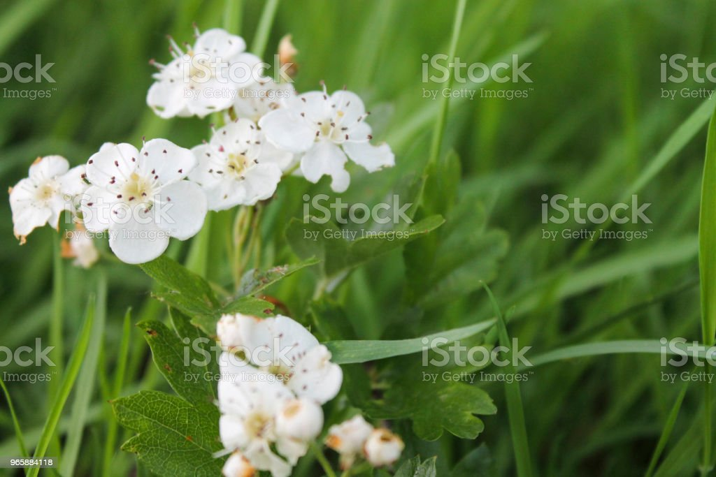 Witte bloesem - Royalty-free Achtergrond - Thema Stockfoto