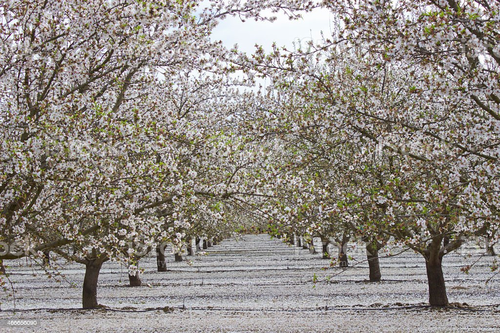 White Blossom Trees in Northern California stock photo