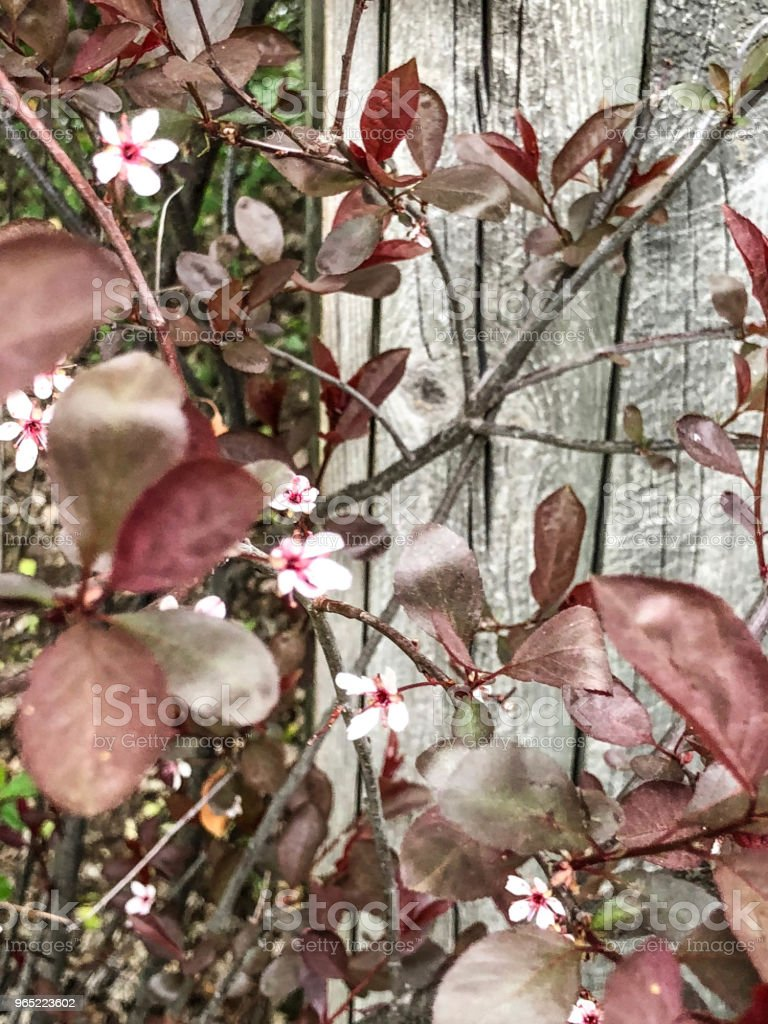 White blossoms by wooden fence royalty-free stock photo