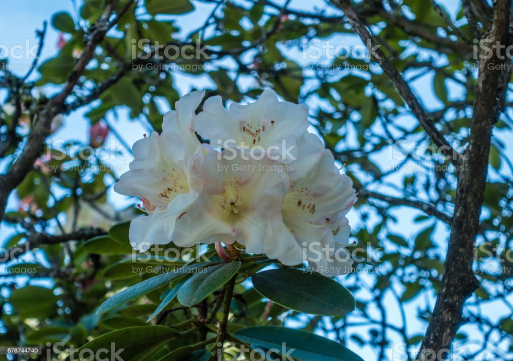 White Blossoms Closeup royalty-free stock photo